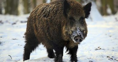 Winter Hog Tips and Tricks for Your Next Hunting Trip – Part 2